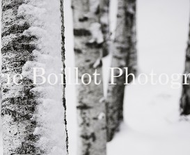 Bouleaux, ecorce enneigée, arbres dans la neige, trees in the snow, white birch in the snow,
